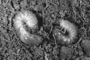 Figure 1. Mature white grubs (photo: M.L. Johnson)