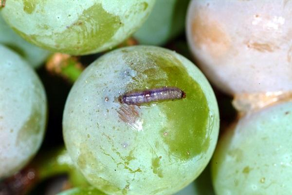 Grape berry moth larva.