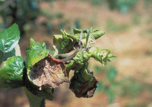 Figure 1. Tightly curled leaves are a sign of rosy apple aphid.