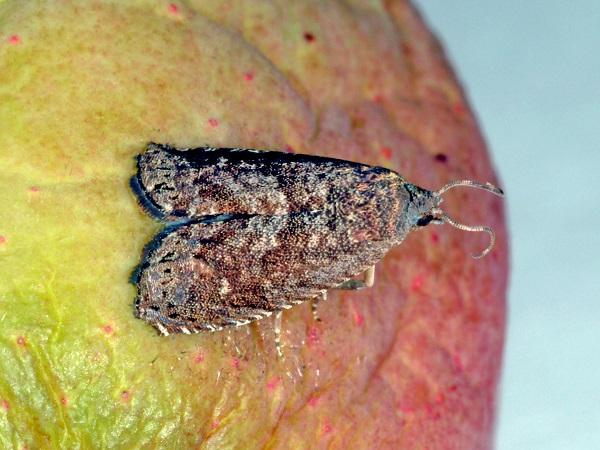 Figure 1. Oriental fruit moth is monitored with pheromone traps and can be quite numerous.