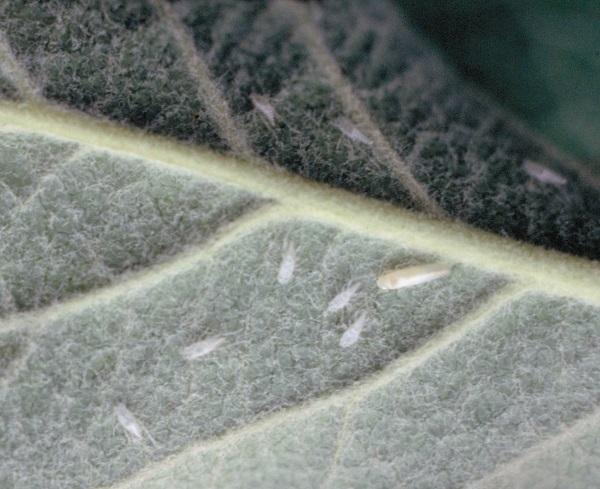 Figure 2. White apple leafhopper and cast skins on underside of leaf.