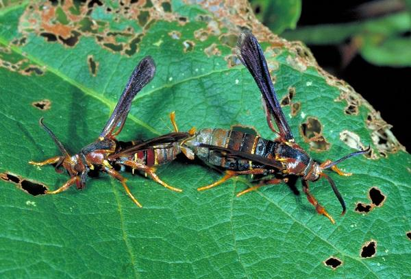 Figure 1. Mating pair of grape root borer moths.