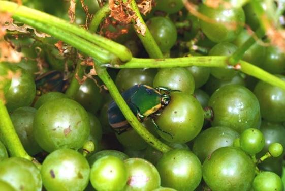 Figure 1. Green June beetle attacking grapes.