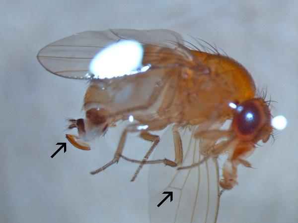 Figure 1. A SWD female with the arrow pointing to its modified ovipositor and wing cross vein.