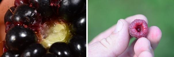 Figure 2. A blackberry and raspberry showing a watery attachment as a result of SWD damage.
