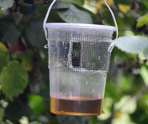 Figure 3. An apple cider vinegar baited SWD trap.