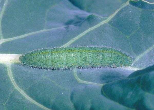 Figure 4. Imported cabbageworm often feeds on young leaves in the bud.