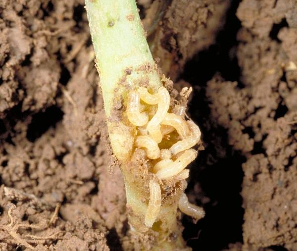 Figure 11. Cabbage maggot can cause serious losses to seedlings.