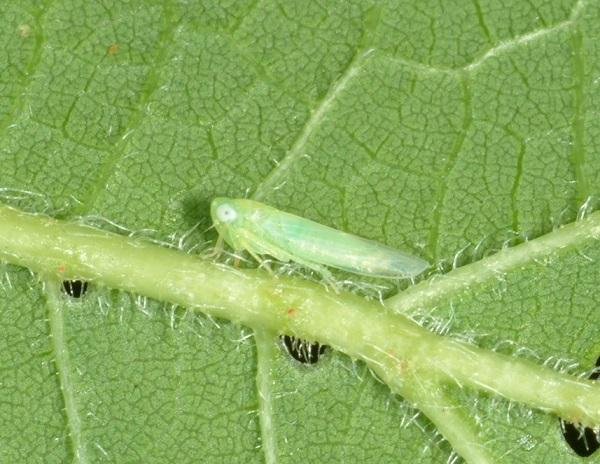 Figure 5. Potato leafhopper migrates from southern overwintering areas each summer.