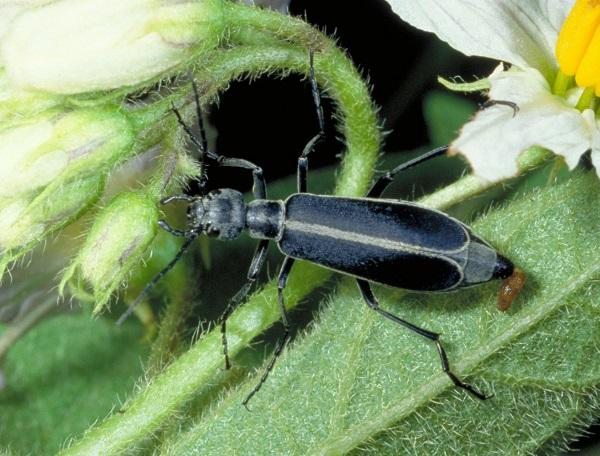 Figure 6. Blister beetles can attack a variety of vegetables.