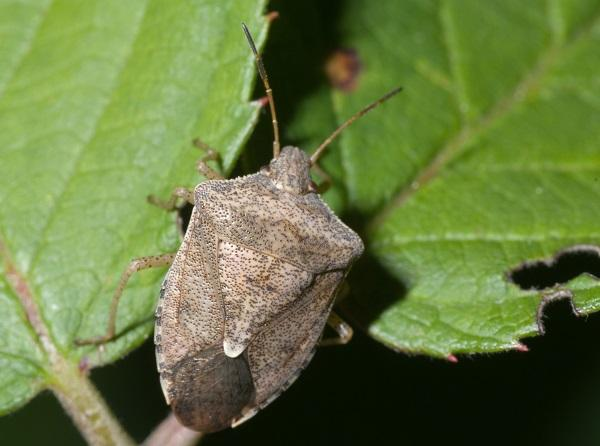 Figure 1. Brown stink bug commonly attacks seedling corn.