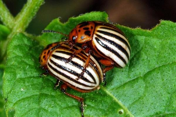 Figure 1. Colorado potato is commonly referred to as the 'potato bug'.