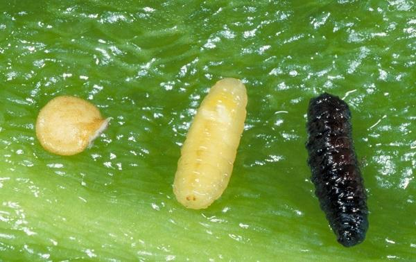 Figure 1. Pepper seed, pepper maggot pupa and larva inside a pepper fruit.