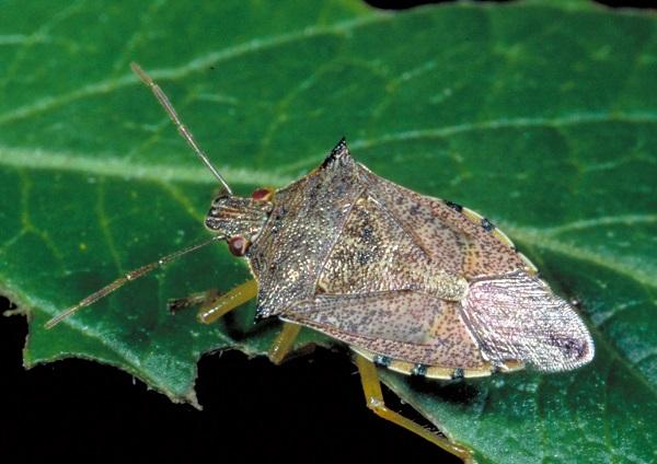 Figure 1. Spined soldier bugs can be recognized by their pointed 'shoulders' and dark marking on the transparent part of the front wings.