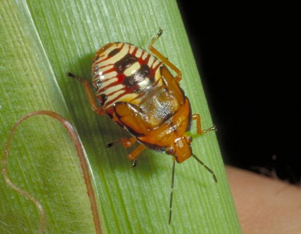 Figure 2. The spined soldier bug nymph is often observed actively searching plants for prey.