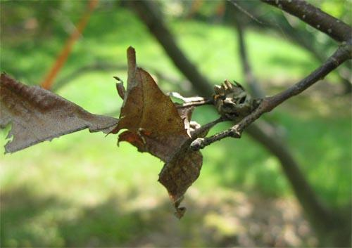 Once the wasps emerge, galls become woody and dry, and can remain on the tree for several years. Small leaves remain attached to the galls during the winter; these are highly visible and are useful in detecting infestations.