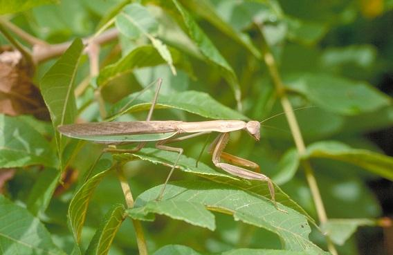 Figure 3. Chinese mantis is the largest species in Kentucky.
