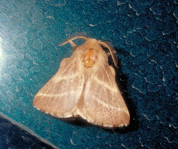Figure 4. An adult male eastern tent moth.