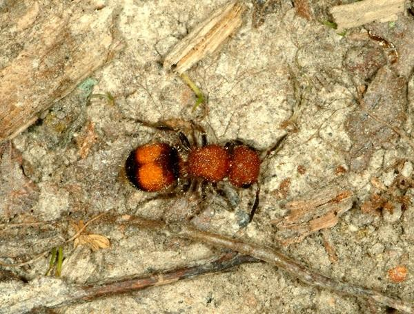 Figure 1. Velvet ants can have painful stings.