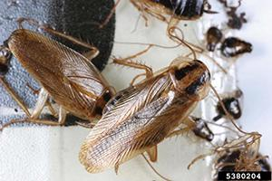 German cockroaches are common and prolific pests within buildings