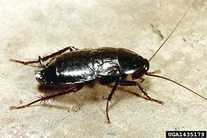 Oriental cockroaches are shiny and black, and often occur in basements and crawlspaces