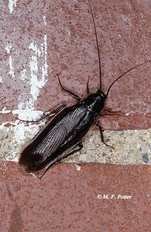 Wood cockroaches live outdoors but often find their way into buildings.