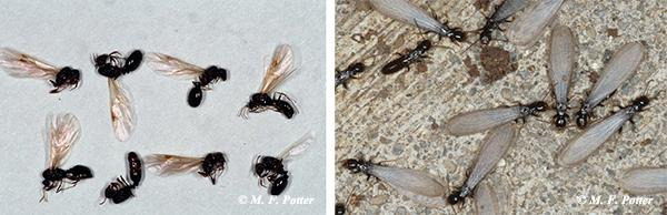 Appearance of winged ants (left) versus winged termites (right). Note the pinched waist and elbowed antennae on the ant.