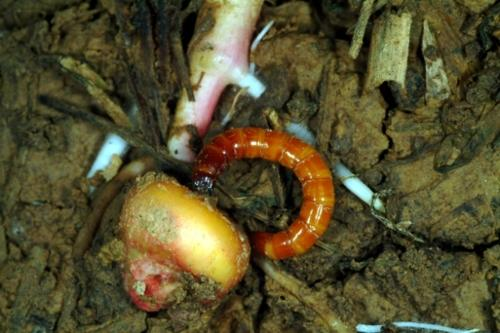 wireworms in corn