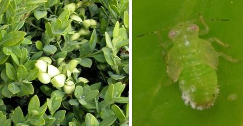Cupping of boxwood foliage and boxwood psyllid nymph