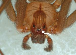 Brown Recluse Spider Eyes