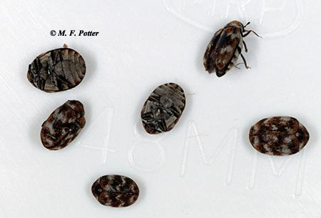 Adult carpet beetles are small and often appear speckled or mottled.
