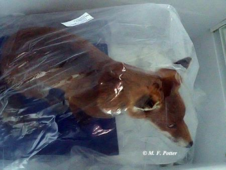Prior to freezing, items (such as this taxidermy mount) should be wrapped in plastic.