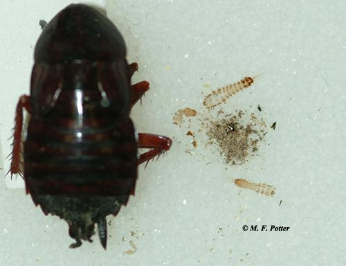 Carpet beetles also scavenge on dead insects (note the shed skins and debris beside the cockroach carcass)