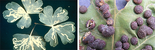 leafminer and gall maker