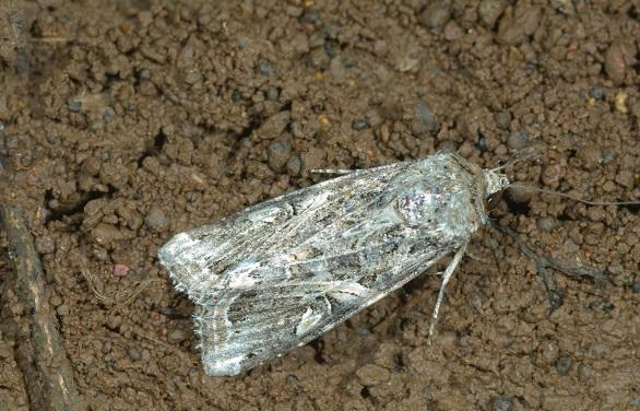 fall armyworm moth