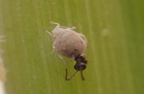 An Aphidius parasitoid emerges from an aphid mummy