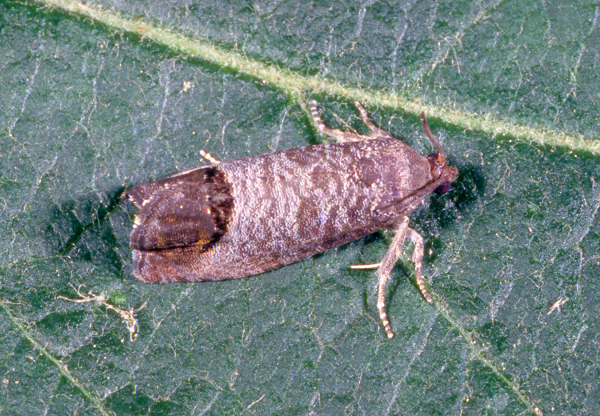 adult codling moth