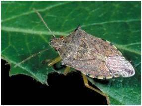 Spined Soldier Bug adult