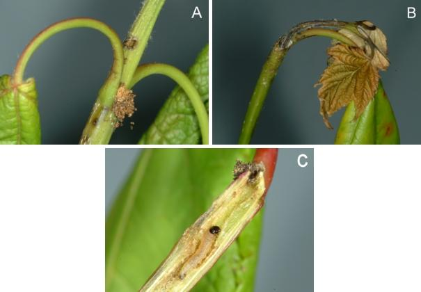 Signs and symptoms of maple shoot borer