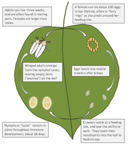Lifecycle of the sweetpotato whitefly