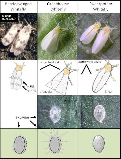 Species identification for common whiteflies in the greenhouse