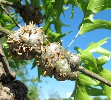 Fig. 1 Horned oak galls
