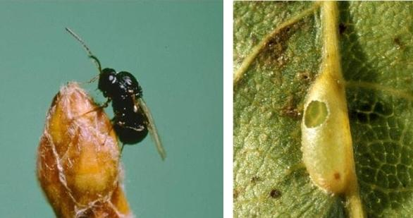Female gall wasp and emergence hole