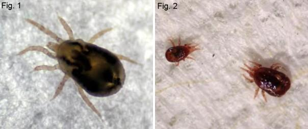 Northern fowl mite and Nymph and adult chicken mite