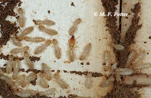 Termite colonies contain many 'workers' that consume wood and smaller numbers of 'soldiers' (center) with jaws modified for defense.