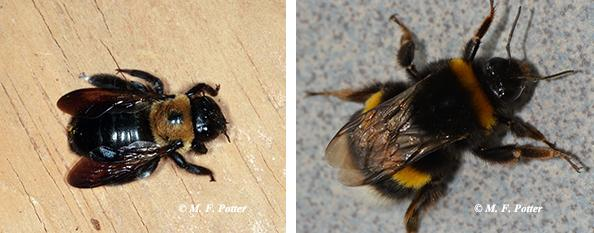 1ab. Carpenter bee with shiny abdomen (left), bumblebee (right).