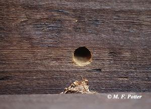 Entrance hole with sawdust