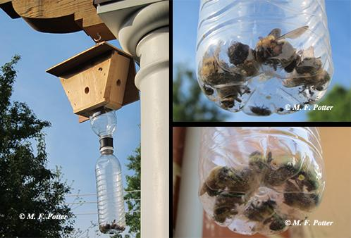 Carpenter bee traps may be help reduce attacks on wood.