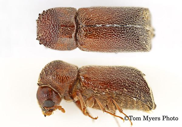 Bostrichid powderpost beetles
