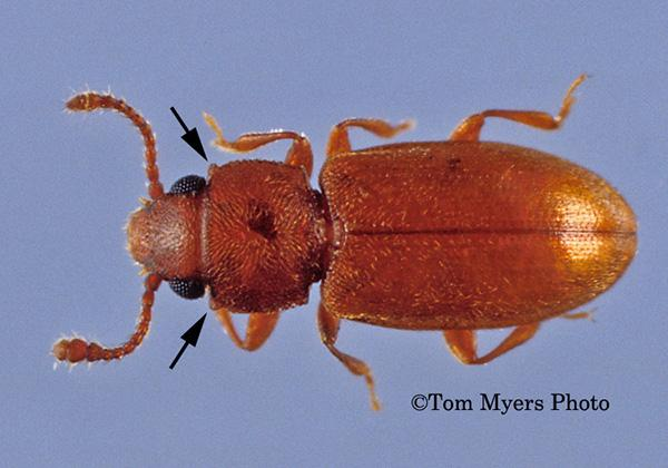 Foreign grain beetle